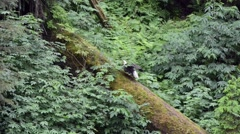 Adult bald eagle drying its wings on a log in southeast Alaska Stock Footage