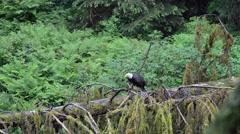 Adult bald eagle in southeast Alaska Stock Footage
