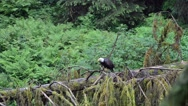Adult bald eagle in southeast Alaska Stock Footage