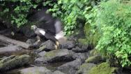 Adult bald eagle chases juvenile bald eagle off a log Stock Footage