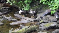 Adult Bald Eagles and a juvenile bald eagle with a fish Stock Footage