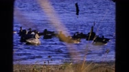 1968: small excited flock of wild ducks gather around pair of decoys  Stock Footage