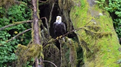A wet adult bald eagle perched on a tree in the rainforest in Alaska Stock Footage