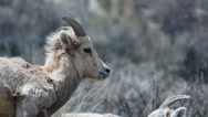 Close up of big horn sheep on a hillside in Montana Stock Footage