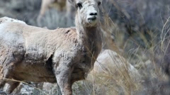 Close up of a big horn sheep in Montana Stock Footage