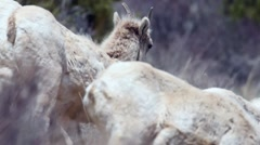 A herd of big horn sheep moving along a hillside in Montana Stock Footage