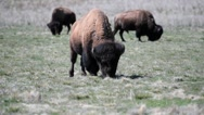 Herd of bison grazing on Antelope Island in Utah Stock Footage