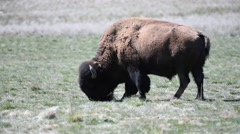 Grazing bison on Antelope Island in Utah Stock Footage