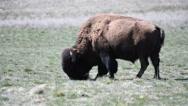 Grazing bison on Antelope Island in Utah Stock Footage