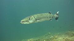 Great barracuda (Sphyraena barracuda) hovering then starts swimming Stock Footage