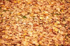 Orange fallen autumn leaves background. Shallow depth of field Stock Photos