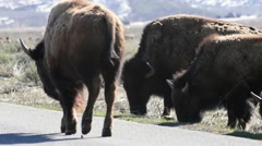 A herd of bison grazing along a roadside in Teton National Park Stock Footage