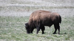 Grazing bison on Antelope Island Utah Stock Footage