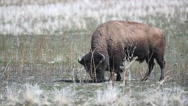 Bison grazing in the hot sun Stock Footage