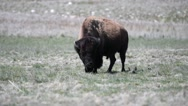 Bison grazes as birds land on his back Stock Footage