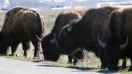 Bison grazing on the side of a road in Teton  Stock Footage