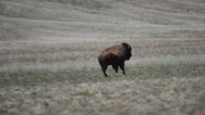 Bison running across the plains on Antelope Island in Utah Stock Footage