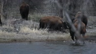 Bison herd crossing a river and rolling in dirt  Stock Footage