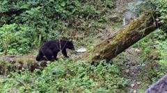 Black bear climbing up a log  Stock Footage