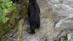 Black bear wades into water looking for salmon and slaps paw against water Stock Footage
