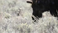 Close up of grazing moose in Wyoming Stock Footage