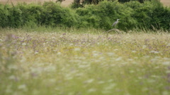 4K Heron in flight in natural environment. No people.  Stock Footage