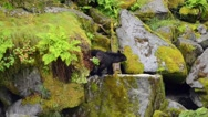 A black bear on a moss covered rock looking down on the river below Stock Footage