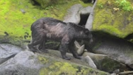 Close up of a black bear fishing for salmon in Alaska Stock Footage