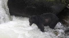 Black bear looking for salmon in southeast Alaska Stock Footage