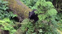 Black bear foraging for berries in Alaska Stock Footage