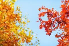 Blue sky among treetops in an autumn park, colourful trees Stock Photos