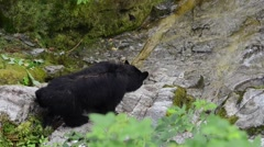 Black bear looking for salmon in a river in Alaska Stock Footage