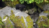 A black bear descends rocks, pan down to another fishing black bear below Stock Footage