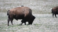 Bison grazing with starlings on his back, Antelope Island, Utah Stock Footage