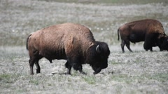 Bison grazing on Antelope Island in Utah Stock Footage