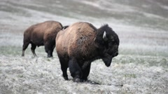 A large bison standing guard Stock Footage