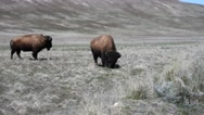 Bison grazing on Antelope Island in Utah Stock Footage