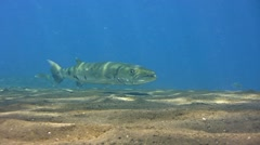 Great barracuda (Sphyraena barracuda) hovering over sand, from side Stock Footage