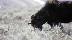 Moose grazing through sagebrush in Wyoming  Stock Footage