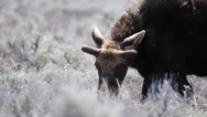 Grazing bull moose in Wyoming on a windy day Stock Footage