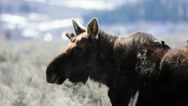 Close up of a moose in Wyoming with starlings on his back Stock Footage