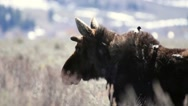 Close up of a moose chewing food with starlings on his back Stock Footage