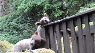 Grizzly cubs scratch themselves against a fence in Alaska Stock Footage