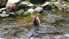 Three grizzly bear cubs; zoom in on one cub sitting on a rock in the river Stock Footage