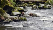 Three grizzly bear cubs follow their mother along the banks of a river  Stock Footage