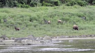 A mother grizzly and three cubs eating sedge grass near a river Stock Footage