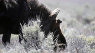 Close up of bull moose grazing in sagebrush Stock Footage