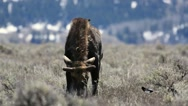 Bull moose grazing in sagebrush facing photographer Stock Footage
