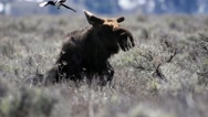 Bull moose getting up with magpies on him Stock Footage