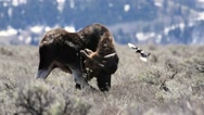 Bull moose scratches head with hoof then shakes with magpies landing near him Stock Footage